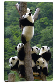 Lienzo  Flock of wild panda babies on the climbing tree - Pete Oxford