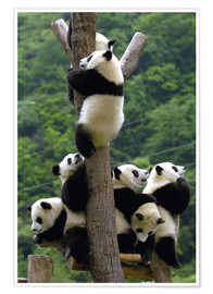 Póster  Flock of wild panda babies on the climbing tree - Pete Oxford