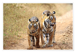 Póster  Royal Bengal Tigers on the track - Jagdeep Rajput