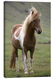 Lienzo  Iceland horse - Don Grall