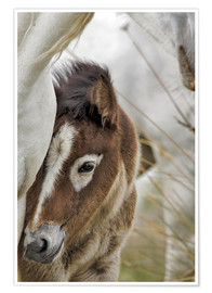 Póster Camargue horse foal, southern France