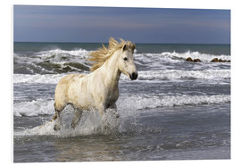 Cuadro de PVC  Camargue horse in the surf - Adam Jones