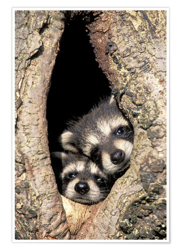 Póster Baby raccoons in tree cavity