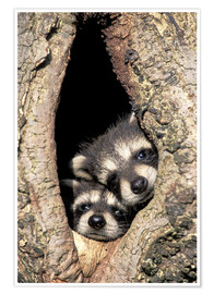 Póster  Baby raccoons in tree cavity - Adam Jones