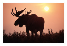 Póster  Moose at sunset - Steve Kazlowski