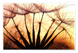 Póster Dandelion in the sunset II