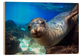 Cuadro de madera  Sea lion underwater portrait - Paul Kennedy