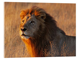 Metacrilato  Lion in the evening light - Africa wildlife - wiw