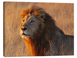 Lienzo  Lion in the evening light - Africa wildlife - wiw