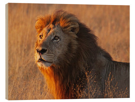 Madera  Lion in the evening light - Africa wildlife - wiw