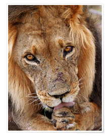 Póster View of the lion - Africa wildlife