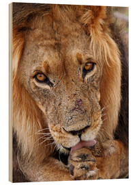 Cuadro de madera  View of the lion - Africa wildlife - wiw