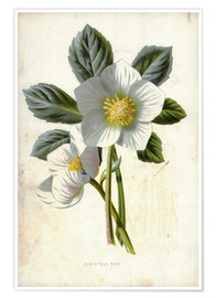 Póster Christmas Rose