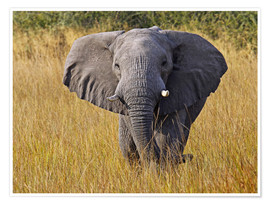 Póster Elephant in the gras - Africa wildlife