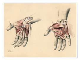 Póster  The Upper Limb. Superficial and Deep Views of the Palm of the Hand - G. H. Ford