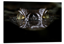 Cuadro de aluminio  alligator - WildlifePhotography