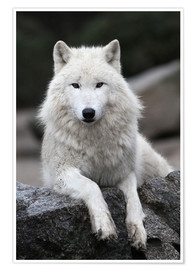 Póster  the wolf - WildlifePhotography