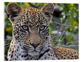 Metacrilato  The leopard - Africa wildlife - wiw