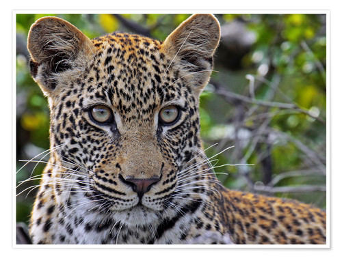 Póster The leopard - Africa wildlife