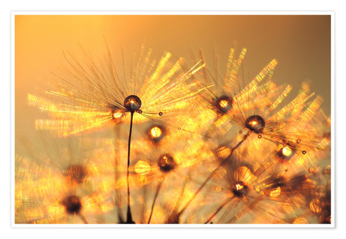 Póster Dandelion golden beads
