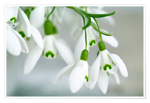 Póster Snowdrop Flowers in Spring