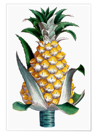 Póster  Pineapple, 1789.