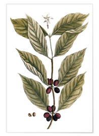 Elizabeth Blackwell - Coffee Plant