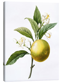 Lienzo  Orange Tree - Pierre Joseph Redouté