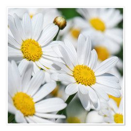 Póster Daisies