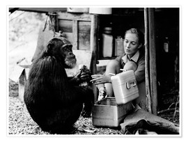 Póster  Jane Goodall con el chimpacé David Greybeard