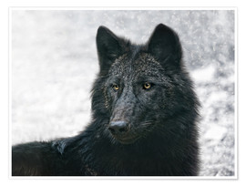 Póster  the black wolf - Joachim G. Pinkawa