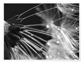 Póster Dandelion black and white