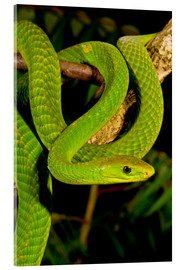 Metacrilato  East African Green Mamba - David Northcott