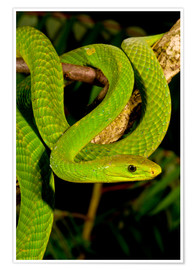 Póster  East African Green Mamba - David Northcott