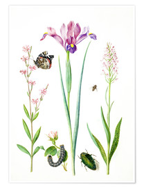 Póster  Red catchfly, rose, iris & orchis - Maria Sibylla Merian