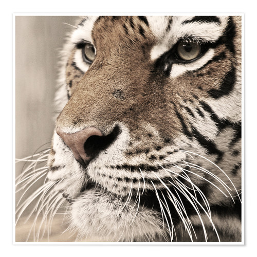 Póster Tigerportrait