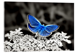 Metacrilato  Blue butterfly on black colorkey II - Julia Delgado