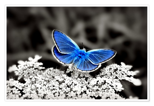 Póster Blue butterfly on black colorkey II