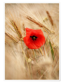 Póster Red poppy in wheat field 2