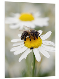 Cuadro de PVC  Bee on the camomile lawn - Falko Follert
