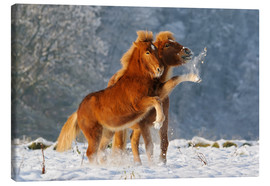 Lienzo  Icelandic horses foal playing in snow - Katho Menden