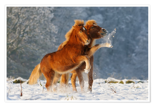 Póster Icelandic horses foal playing in snow