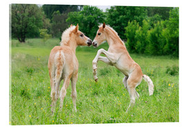 Metacrilato  Haflinger horses foals playing and rearing - Katho Menden