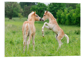 Forex  Haflinger horses foals playing and rearing - Katho Menden
