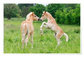 Póster  Haflinger horses foals playing and rearing - Katho Menden