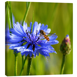 Lienzo  Cornflower with hoverfly - Atteloi
