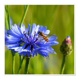 Póster Cornflower with hoverfly