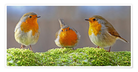 Póster  Birds Robins - WildlifePhotography