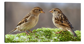 Cuadro de aluminio  Birds Sparrows - WildlifePhotography