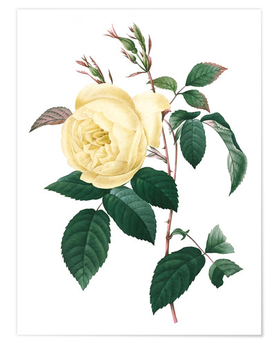 Póster Rosa indica